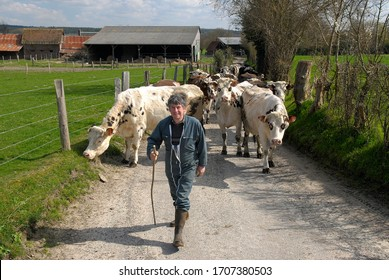 Normandy, France, May 2010. Farmer on a path taking his cows to the pasture. Dairy herd of Normande cows and prim holstein breed