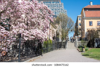 NORRKOPING, SWEDEN - MAY 5, 2018: Flowering Magnolia in waterfront park Stromparken in the center of Norrkoping. Norrkoping is a historic industrial town in Sweden.