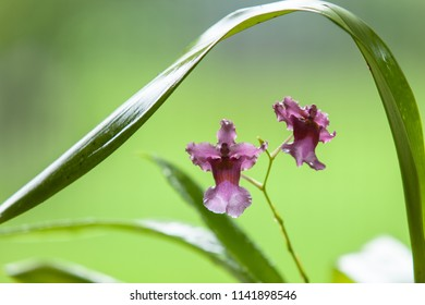 North 21 Frances Fox (Sunspots) Orchid Flower