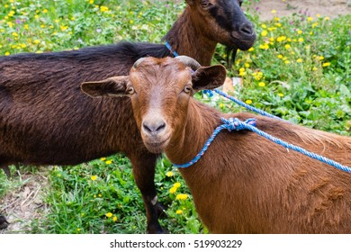 North Africa, Morocco,Meknes, Moroccan pygmy goats in field. West African Dwarf, Djallonke, or Fouta Djallon species.