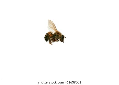 "North American Africanized Honey Bee aka ""Killer Bee"" isolated on white"