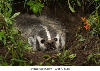 North American Badger (Taxidea taxus) Snarls Out Close - captive animal