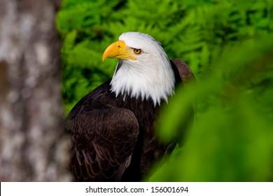 North American bald eagle in Alaska