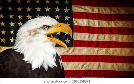 North American Bald Eagle with American flag. Patriotic concept.