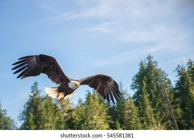 North American Bald Eagle flying in wilderness