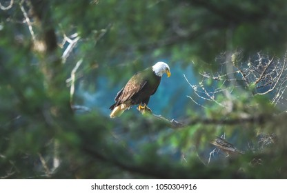 north American bald eagle seen through forest foliage during yearly gathering of eagles