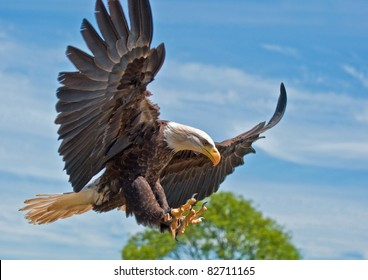 North American Bald Eagle with Talons out