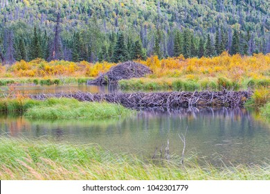The North American beaver or American  or Canadian beaver (Castor canadensis) is one of two extant beaver species. Beaver dam and lodge in Alaska on a lake.