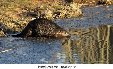 A North American Beaver (Castor canadensis) on the shore of a pond in Kitchener, Ontario, Canada.