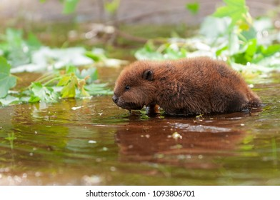North American Beaver (Castor canadensis) Wading Reflected - captive animal