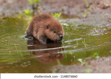 North American Beaver (Castor canadensis) Kit Stands in Shallow Water - captive animal