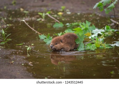 North American Beaver (Castor canadensis) Kit Splashes in Puddle - captive animal
