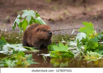 North American Beaver (Castor canadensis) Kit Looks Up From Water Summer - captive animal