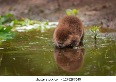 North American Beaver (Castor canadensis) Kit Reflected in Water Summer - captive animal