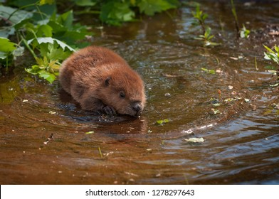 North American Beaver (Castor canadensis) Kit Moves Forward in Shallow Water Summer - captive animal