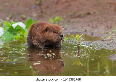 North American Beaver (Castor canadensis) Kit Looks Up Leaves Reflections Summer - captive animal