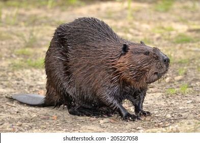North American Beaver (Castor canadensis) on ground