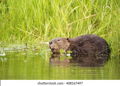 North American Beaver (Castor canadensis) stripping a branch in a Canadian creek