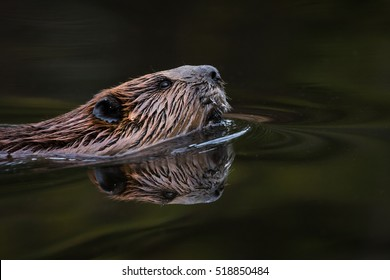 North American Beaver - Castor canadensis, close-up portrait and reflection while swimming in the still water of it's pond.