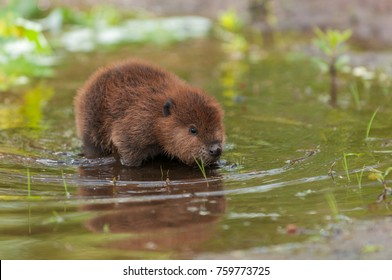 North American Beaver (Castor canadensis) Kit Reflected in Water - captive animal