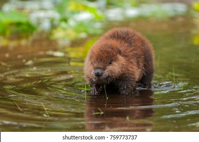 North American Beaver (Castor canadensis) Kit steht in Water - Captive Animal