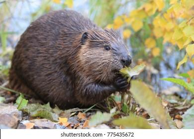 North American Beaver (Castor canadensis) eating  Alaska