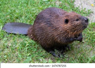 North American beaver (genus Castor)