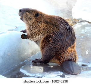 North American Beaver on Ice in Winter. Looks like he is smiling.