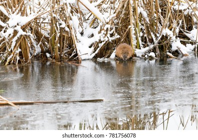 North American beaver sits and eat at riverside in winter in Finland