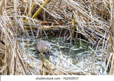 North American beaver sits in a water pool surrounded by hay bushes in autumn