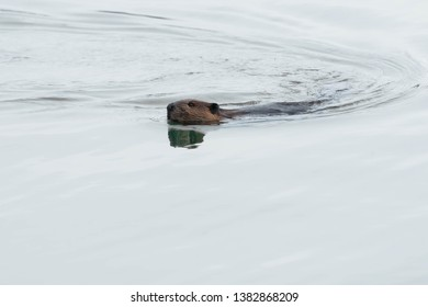 North American Beaver swimming in the open water of a grey, overcast day. Colonel Samuel Smith Park, Toronto, Ontario, Canada.