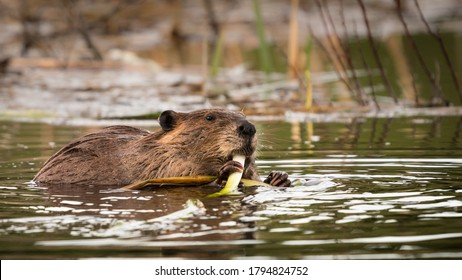 North American Beaver Swimming in a Wetland Lake and Eating Green Grass Shoots. Hands Holding Food and Feeding on Vegetation in a Pond Marsh Habitat