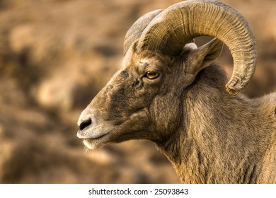 North American Big Horn Sheep