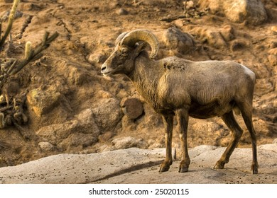 North American Big Horned Sheep