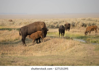 North American Bison in Grand Teton National Park at the Mormon Barns