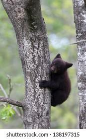 North American Black Bear Cub on tree