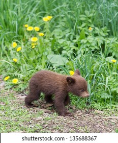 North American Black Bear cubs