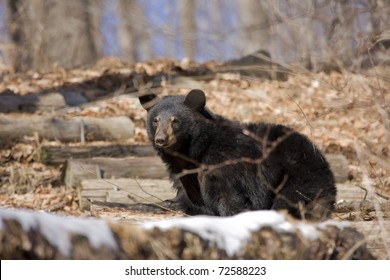 North american black bear in early spring