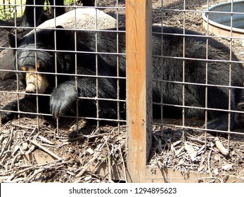 North American black bear with paw outside zoo cage in captivity
