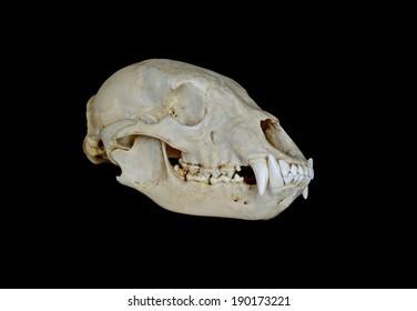 North American Black Bear Skull