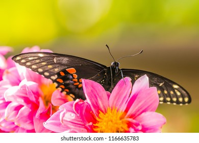 North American Black Swallowtail Butterfly - Papilio polyxenes