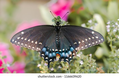 North American Black Swallowtail Butterfly - (Papilio polyxenes)