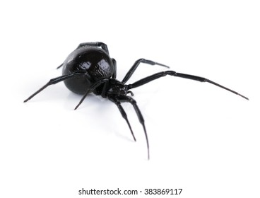 North American black widows spider, side view. Isolated on white background