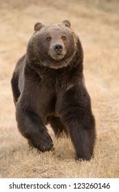 North American Brown bear running