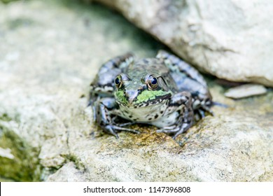 North American dark green frog on a rock at a small stream in Ontario, Canada