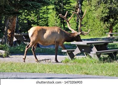 North American elk walking through a campsite
