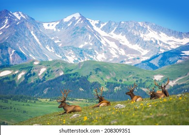 North American Elks on the Rocky Mountain Meadow in Colorado, United States. Resting Elks