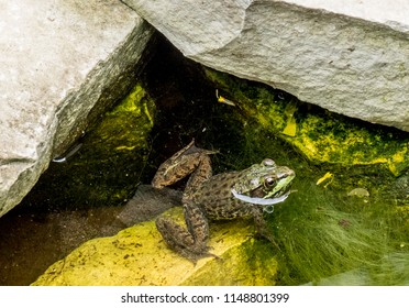 North American Green Frog on a rock in a stream