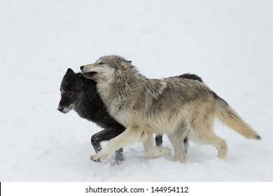 The North American Grey Wolf, an Apex Predator