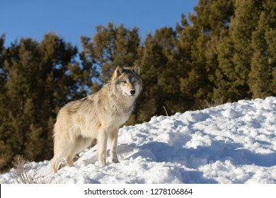 North American Grey Wolf in winter scene